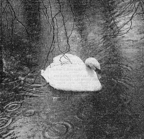 jasper the swan in the rain during july 1954